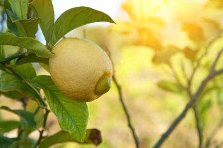 lemon sunbathed in light hanging in a tree Stock Photo