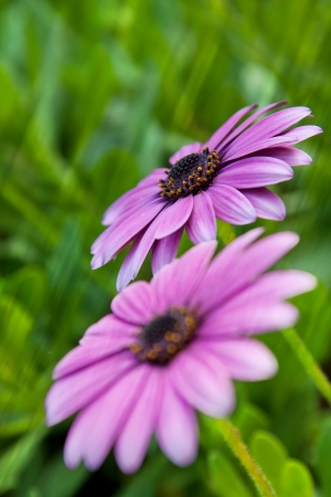 daisy flowers in the garden with green foliage