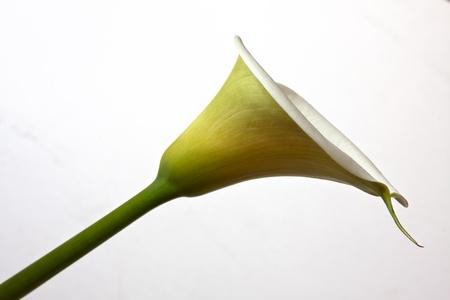 arum: arum lily flower against white background