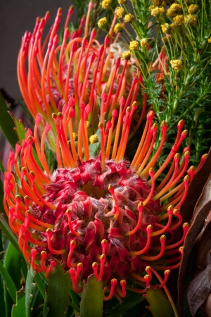 detail of a pin cushion protea southern africa