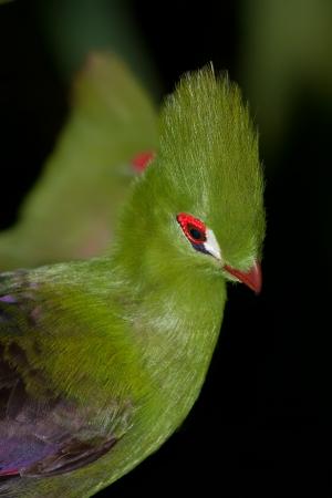 knysna lourie bird from south africa