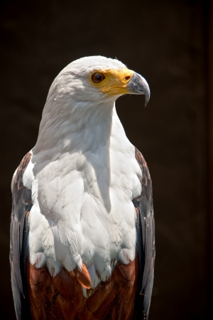 regal fish eagle a bird of prey isolated against a dark brown background
