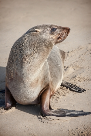 young stranded fur seal resting on a sandy beach photo