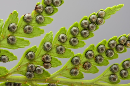spores: detail of seed pods on a green fern leaf frond closeup