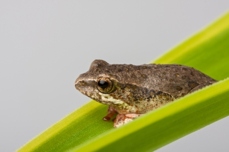 closeup detail of a brown tree frog perched on a green leaf frond