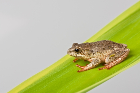 closeup detail of a brown tree frog perched on a green leaf Stock Photo