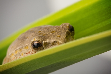closeup detail of a brown tree frog hiding on a green leaf