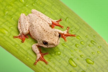 brown tree frog sitting on a leaf showing red sticky feet photo