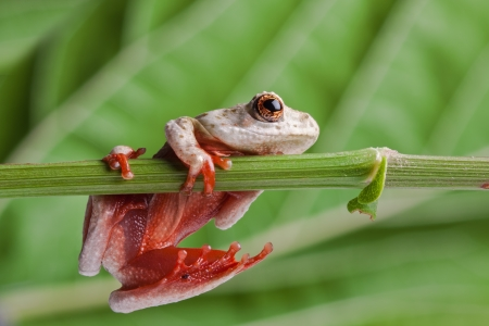 brown tree frog hanging on a leaf showing red sticky feet