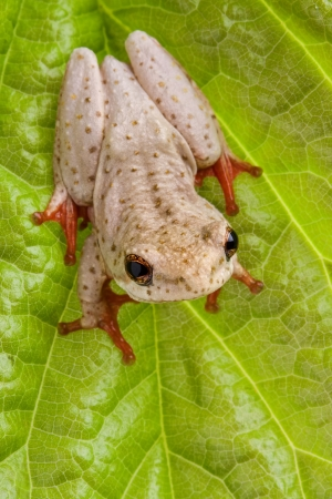 brown tree frog sitting on a leaf showing red sticky feet looking upward Stock Photo