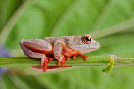 brown tree frog walking on a stem showing red sticky feet