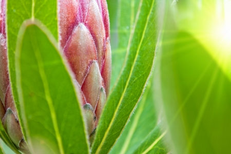 abstract detail of a protea flower with red petals and green leaves in bright yellow sunshine