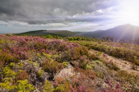 mountain view of natural colourful fynbos an indiginous plant species