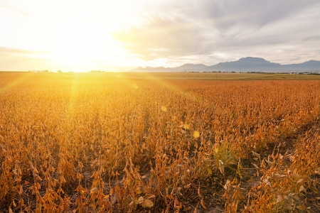 golden farmland field with dry bean pods and distant mountains Stock Photo