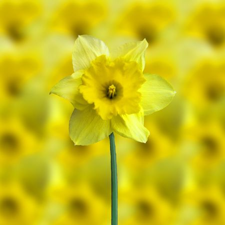 jonquil: yellow jonquil