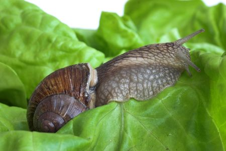 snail on the lettuce