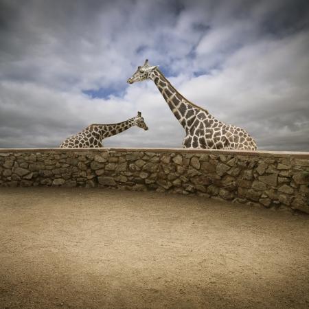 giraffe on the zoo