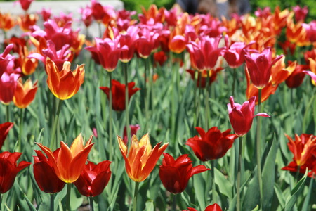medium close up: This scene captures a medium close up shot of tulips of various vibrant colors