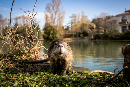 Nutria in city Park