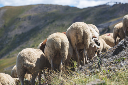 Flock of sheep in the meadow in the Alps
