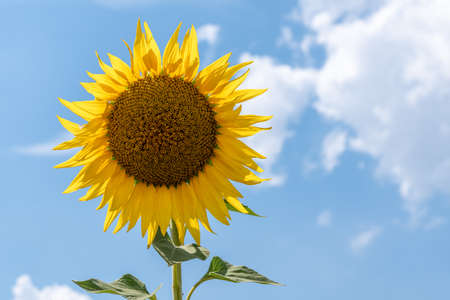 sunflower plant close-up in summer sunny day in Provence France