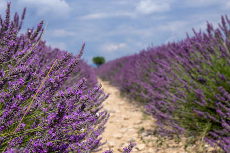 Lavender field with wheat field in background, summer sunny day in Provence, France