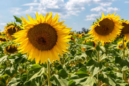 sunflower field in summer sunny day in Provence France