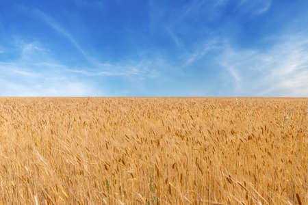 Golden wheat field at summer sunny and cloudy day - Organic Agriculture field - France Provence Valensole