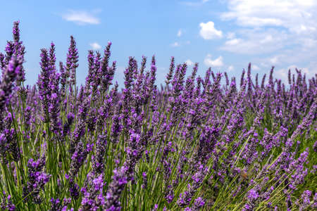 Lavender field in Provence, summer sunny day - France