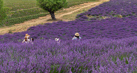 Japanese women tourists take pictures in Lavender field in Provence, France - Unrecognizable person