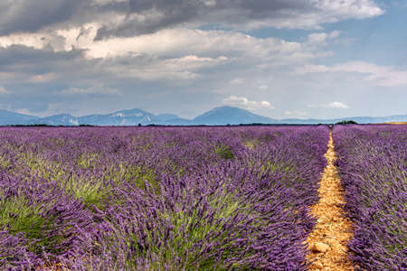 Lavender field in summer sunny day in Provence, France
