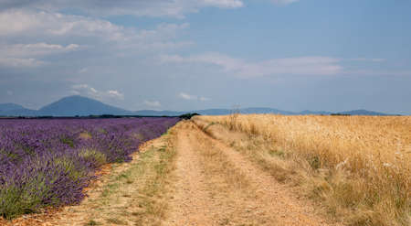 Road in middle of Lavender and wheat field, summer sunny day in Provence, France