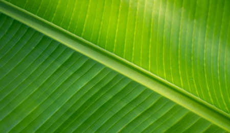 Green banana leaf texture background 写真素材