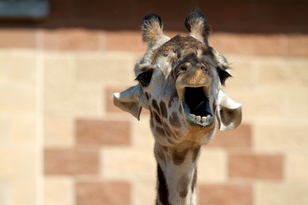 mouthed: Giraffe Open Mouthed Stock Photo