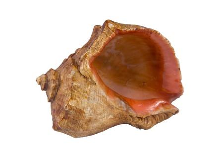 白い背景の上の貝殻