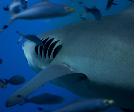 gills: Bull shark gills