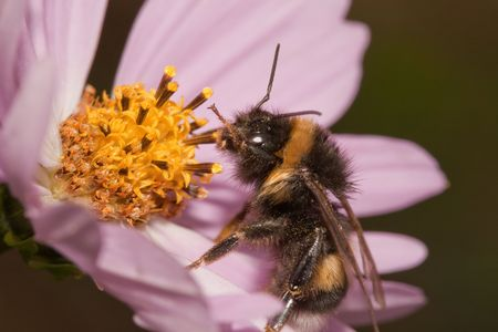 compositae: Close-up of bumblebee on pink Compositae flower Stock Photo