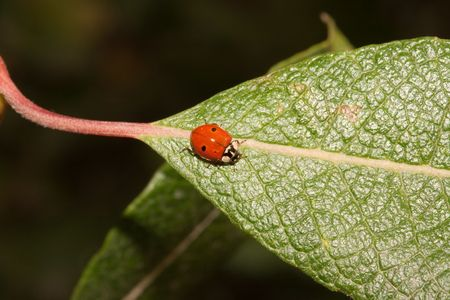 Close-up of a lady bug on a leaf Stock Photo - 4685968
