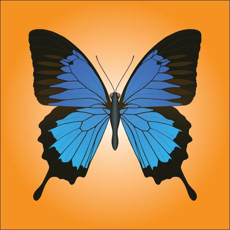 lightness: Papilio Ulysses butterfly closeup against orange background vector illustration. Illustration