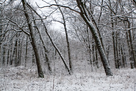 Oak forest in the Winter in a bleak day Stock Photo