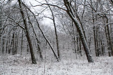 Oak forest in the Winter in a bleak day Stock Photo