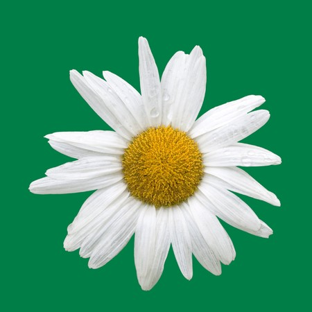Blooming daisy with raindrops, isolated on green Stock Photo - 7324404