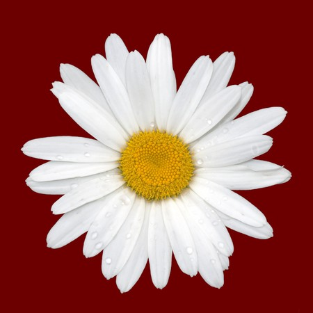 Blooming daisy with raindrops, isolated on red