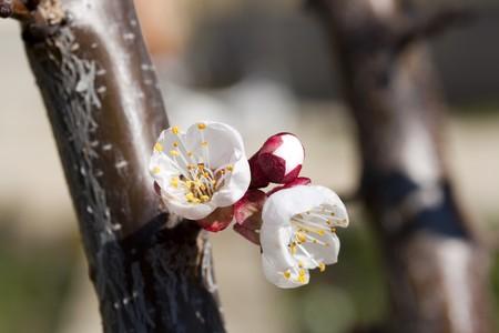 Prunus Domestica inflorescence close-up