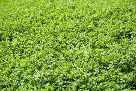 A white clover field, Trifolium repens photo