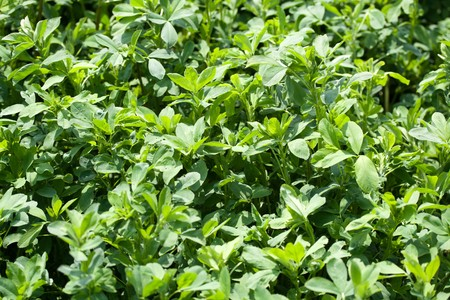 A white clover field detail, Trifolium repens Stock Photo - 8250043