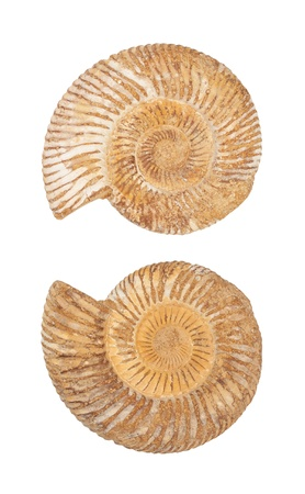 The two sides of an ammonite prehistoric fossil shell isolated on white photo