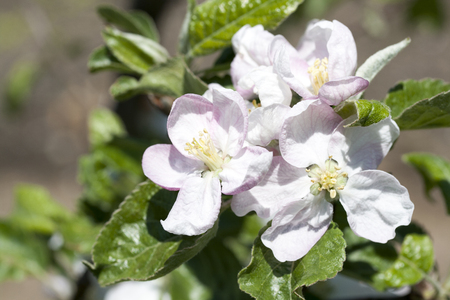 Closeup of blossoming apple flowers in spring time with green leaves Stock Photo