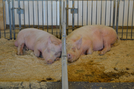 Pigs resting in the farm Stock Photo