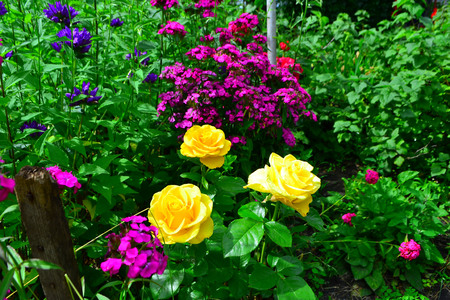 Beautiful yellow roses in garden with wildflowers, floral background